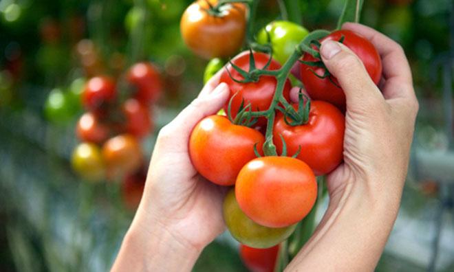 トマトの旬はいつ?味の旬は「春」、量の旬は「夏」。