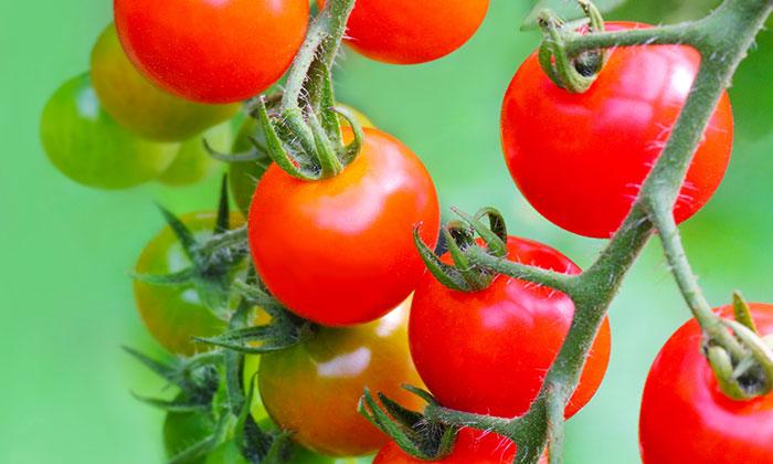 「芯を摘む」おいしいミニトマトがつくれるベランダ菜園の極意その3