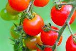「根は暑さに弱い」おいしいミニトマトがつくれるベランダ菜園の極意その4