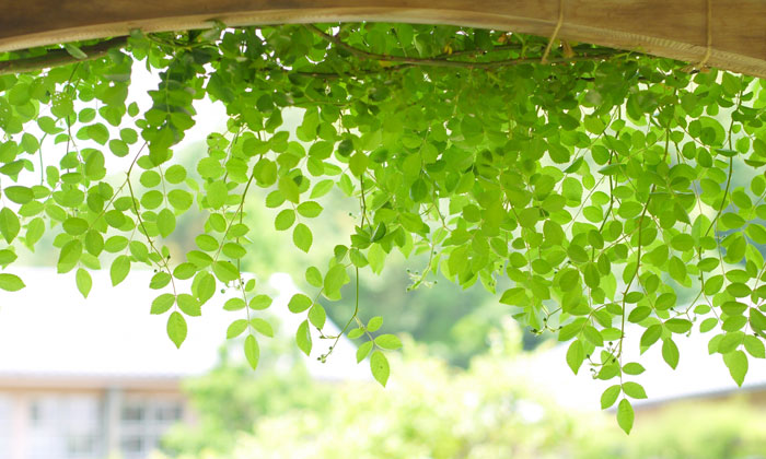 【第2回】初心者におすすめの家庭菜園!今年の夏はグリーンカーテンで涼しく過ごそう!