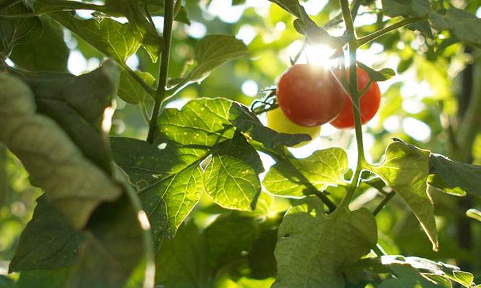 「葉かき」「摘芯」とは。家庭菜園の暑さ対策。