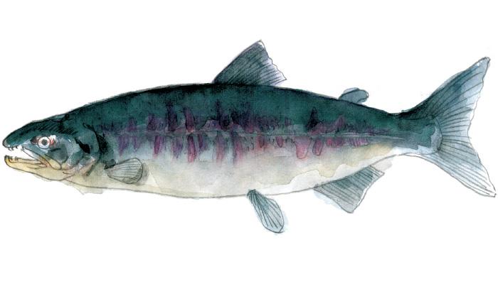 白鮭、キングサーモン・・・どれだけ知ってる?鮭の種類を徹底解説!