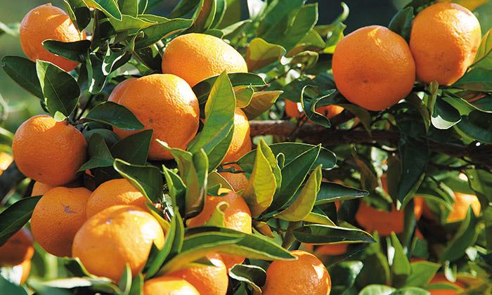 柑橘類の条件つき除草剤使用について