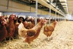 【産地紹介】平飼いたまごとは。丸一養鶏場の卵。