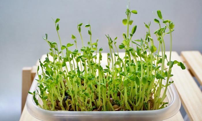 春が旬の野菜「豆苗(とうみょう)」!豆苗の豊富な栄養やおすすめのレシピ