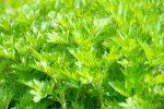 山菜「よもぎ」を美味しく食べられる旬の時期・おすすめの食べ方