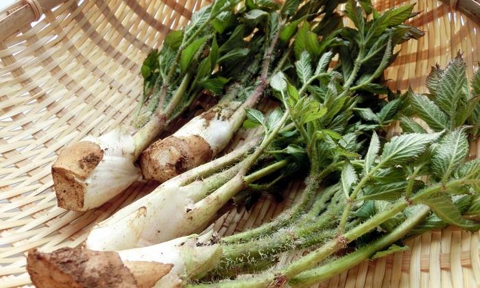 香り豊かな春の山菜「うど」!旬の時期とおすすめレシピ
