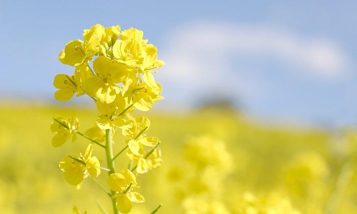 菜の花の花言葉とは?菜の花の茹で方や簡単レシピも紹介!